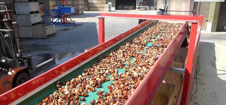 Tulip bulbs being prepared for sale.