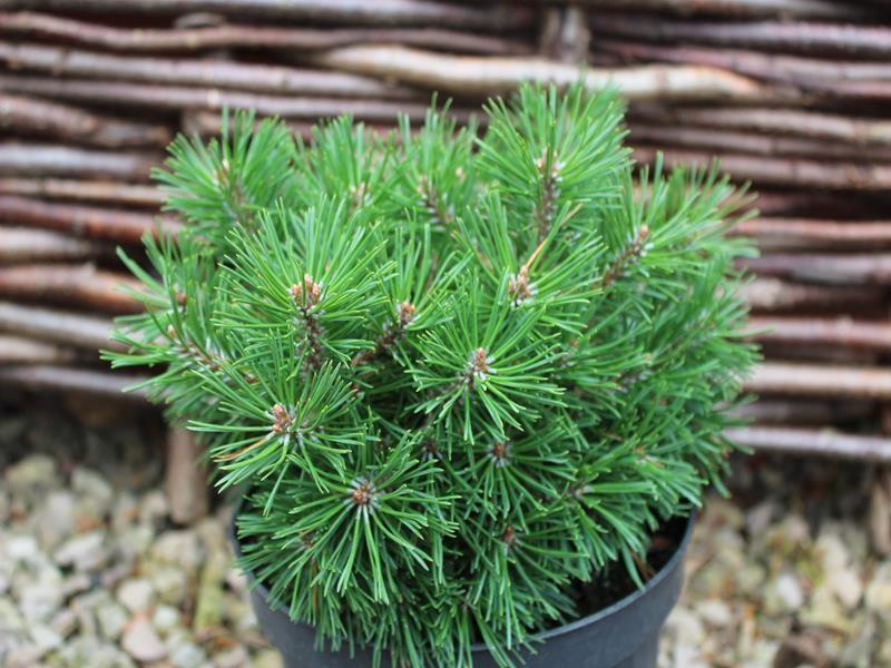 20171018D Pinus mugo 'Mops Midget' ashwoodnurseries.com