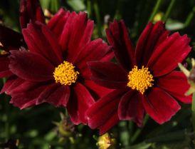 Coreopsis x hybrida Little Bang 'Red Elf'. Source: DummenOrange