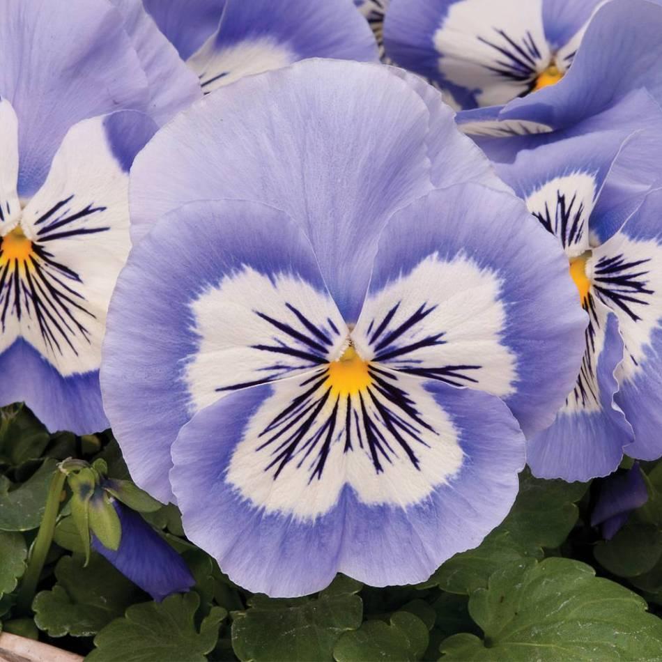 20180208C Viola x wittrockiana 'Mystique Blue Halo' www.thompson-morgan.com.jpg