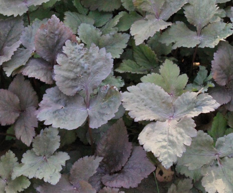 20180529D Cryptotaenia japonica atropurpurea,www.chilternseeds.co.uk .jpg