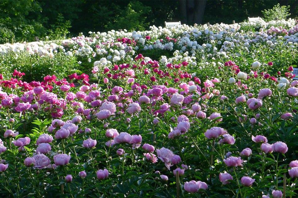20180619J Nichols Arboretum Peony Garden,mbgna.umich.edu.jpg
