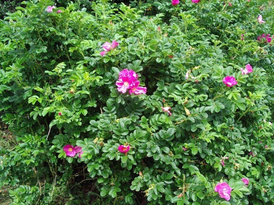 20180904F Rosa rugosa 3fatpigs.co.uk.JPG