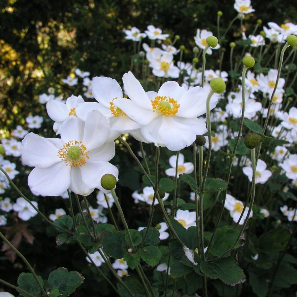 Fall perennial white flowers Anemone × hybrida 'Honorine Jobert'