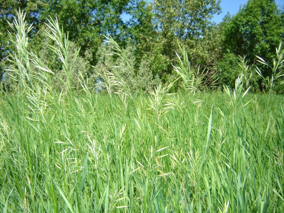 Sweet grass (Hierochloe odorata) growing in a field.