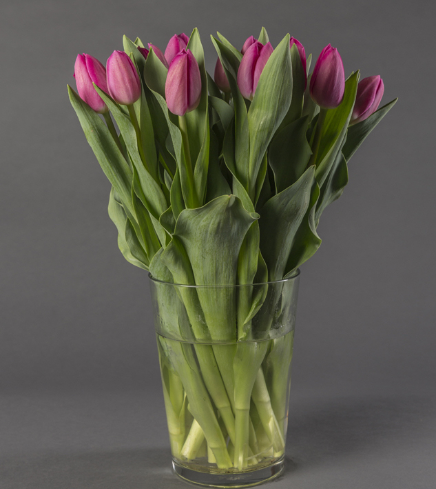 Violet cut flower tulips in a transparent vase with water.