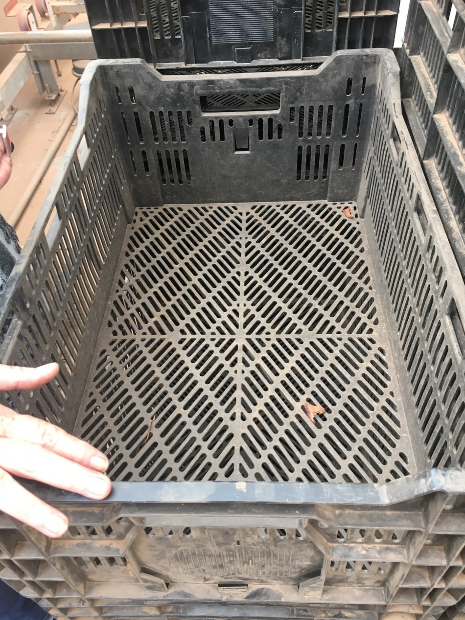 Dusty plastic tray used to force tulip bulbs.