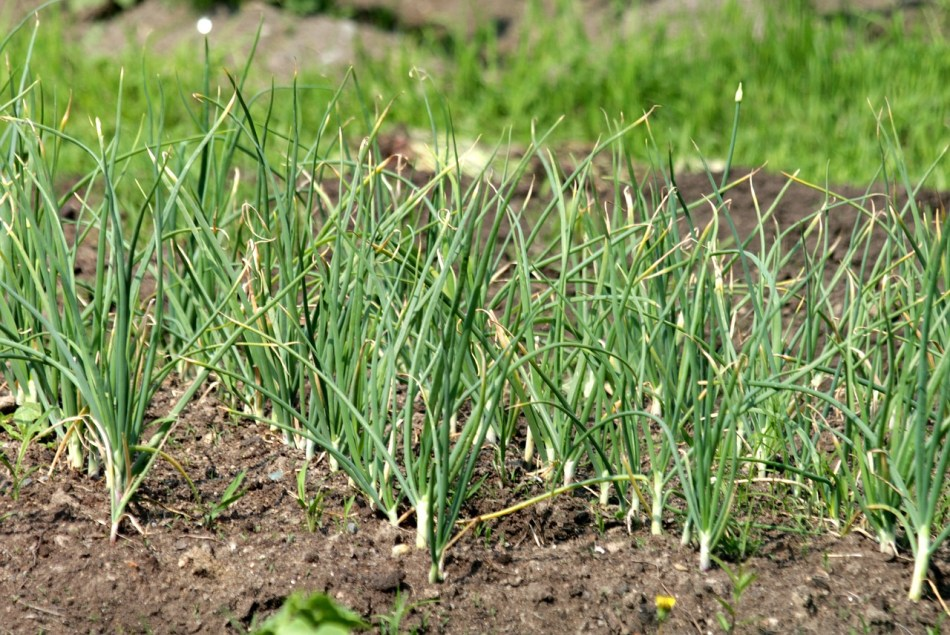Rows of garlic plants with grasslike leaves over brown soil.