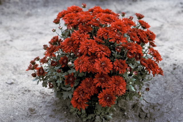 Chrysanthemum, 'Minngopher', mounded plant, maroon red pompom flowers
