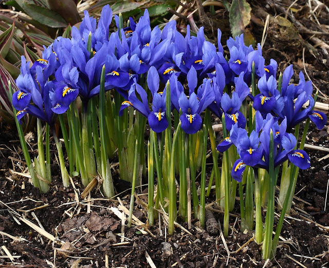 Harmony iris, deep blue flowers with white and yellow marks. Short narrow green leaves.