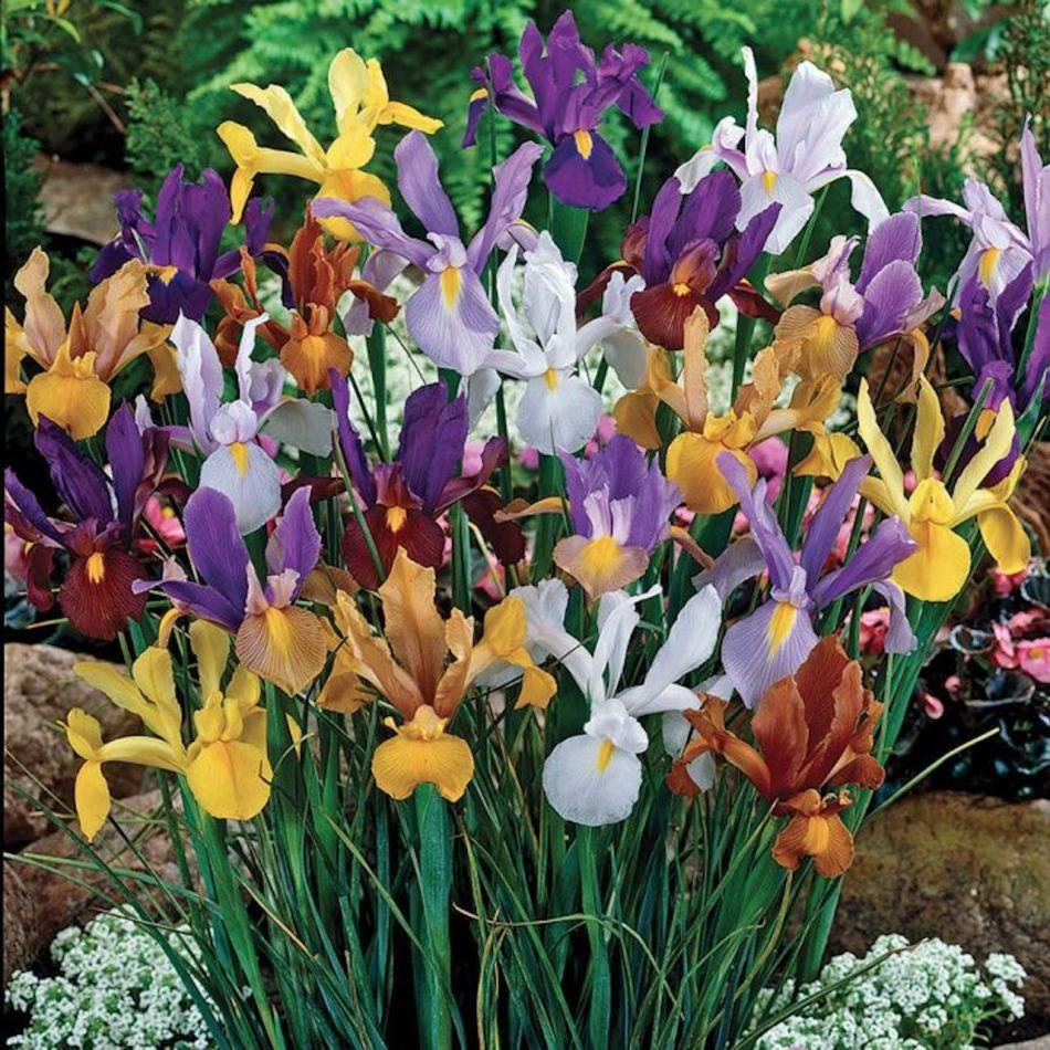 Dutch irises, in bloom, flowers yellow, orange, purple, blue, brick red, white, with yellow mark.