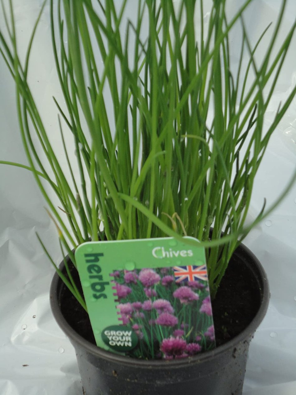 Pot of chives