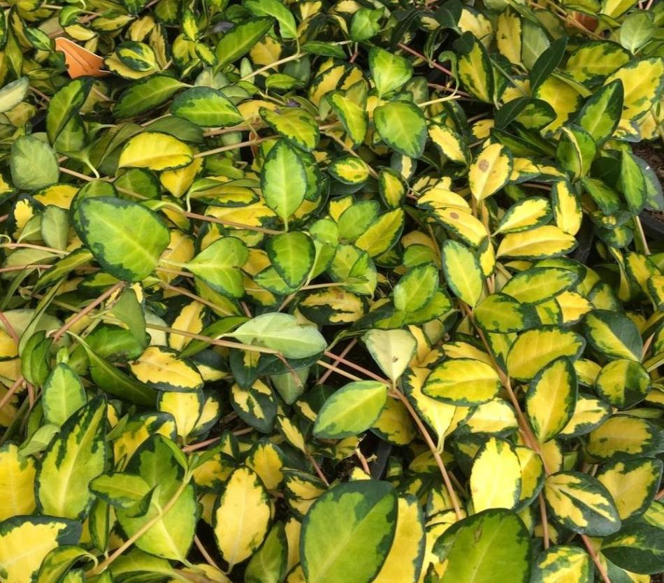 Vinca minor Illumination with yellow and green leaves
