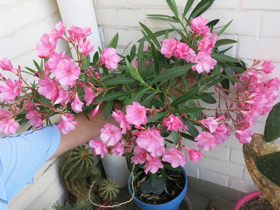 Pink oleander in a pot.