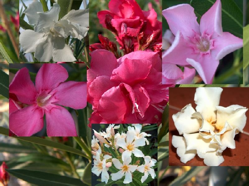 Collage of oleander flowers in different colors.
