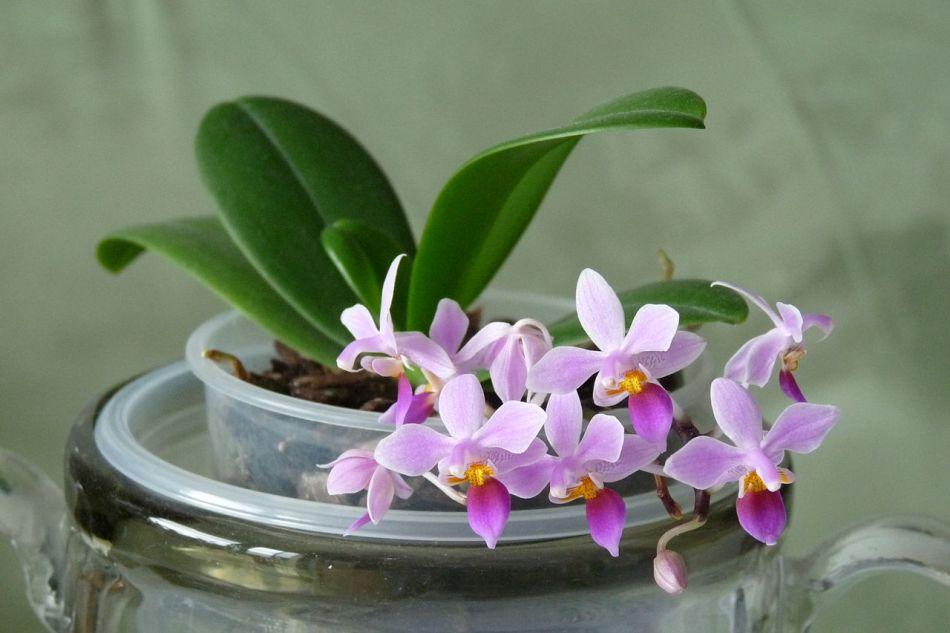 tiny orchid Phalaenopsis equistris