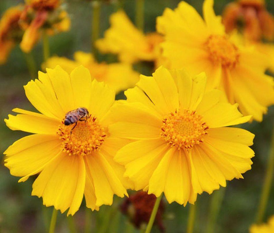 Coreopsis in flower