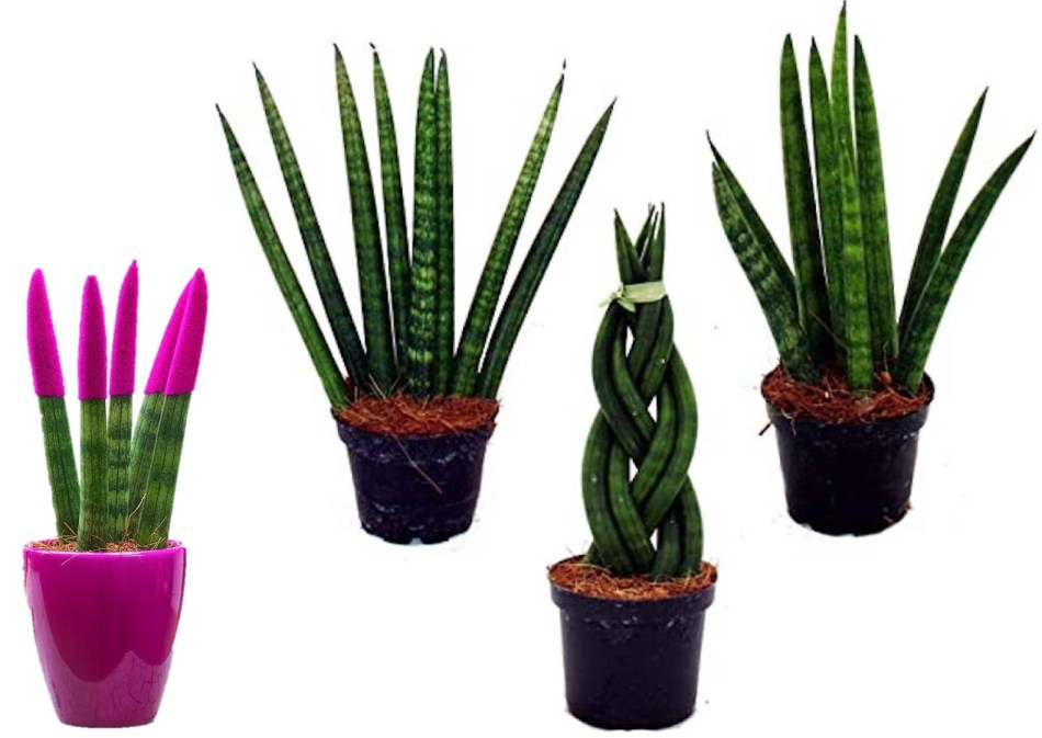 Leaf cuttings of cylindrical snake plant, showing different forms, including braided and painted ones.