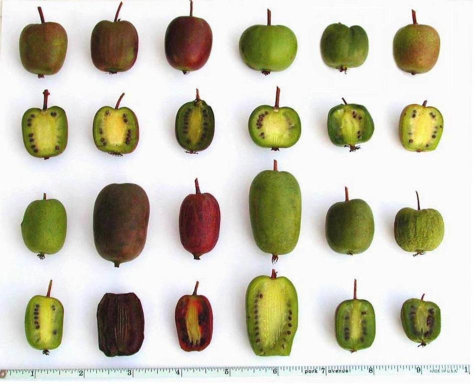 Wide variety of different hardy kiwi fruits