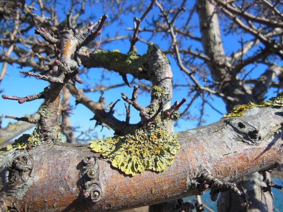 Lichen on apple tree bark.