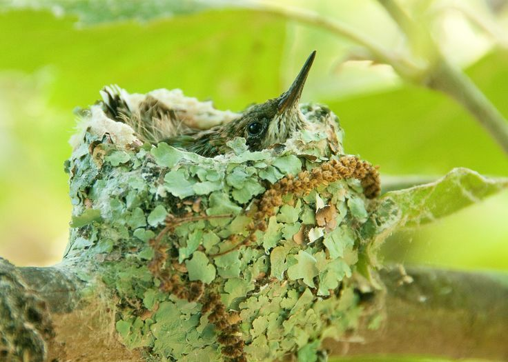 Hummingbird nest covered in lichens