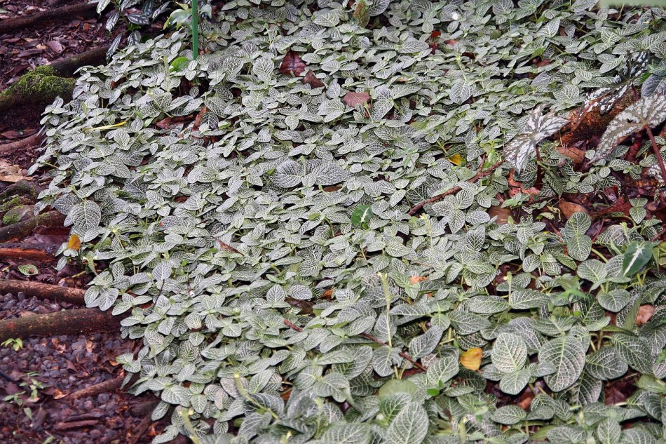 fittonia used as a groundcover outdoors in the tropics
