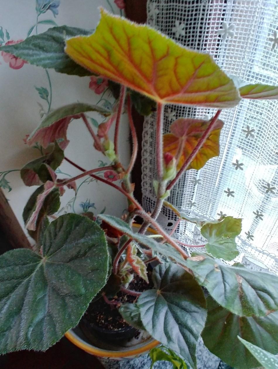 Elephant-leaf begonia (B. scharfii)
