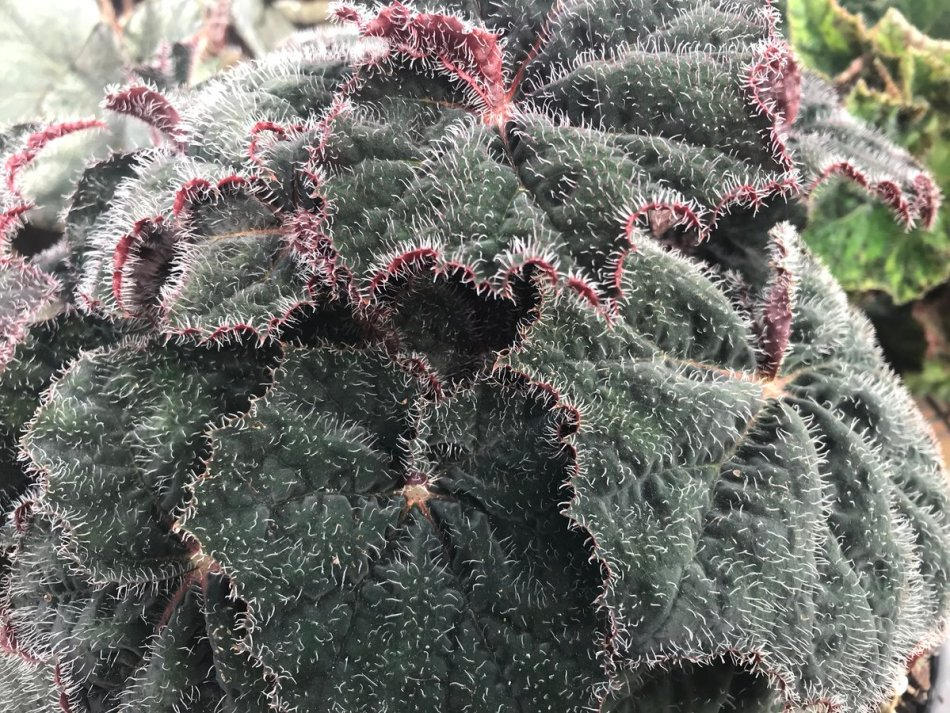 Begonia 'Hairy Thing', also called 'Bill Morris'