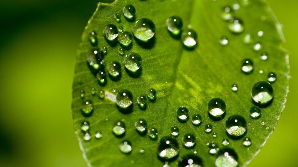 Dew on upper leaf surface