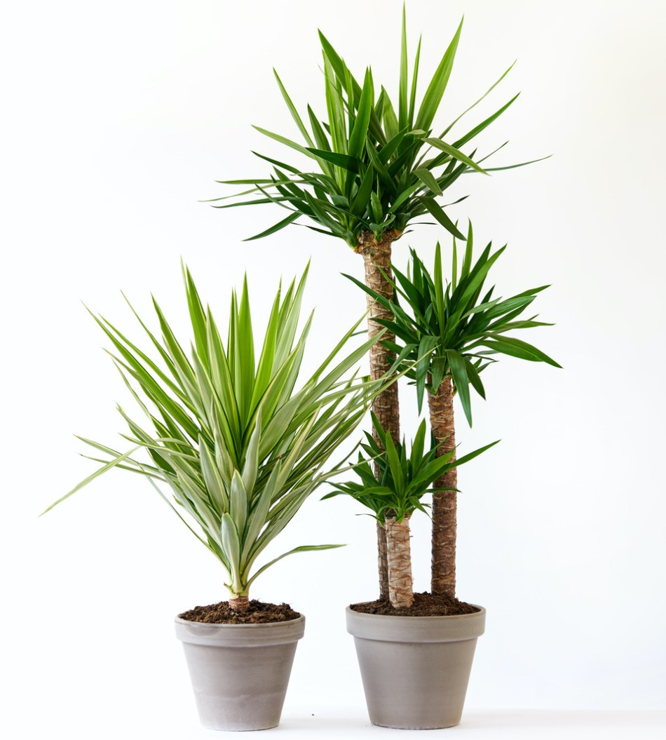 A short single stem yucca and a tall multi-stem one.