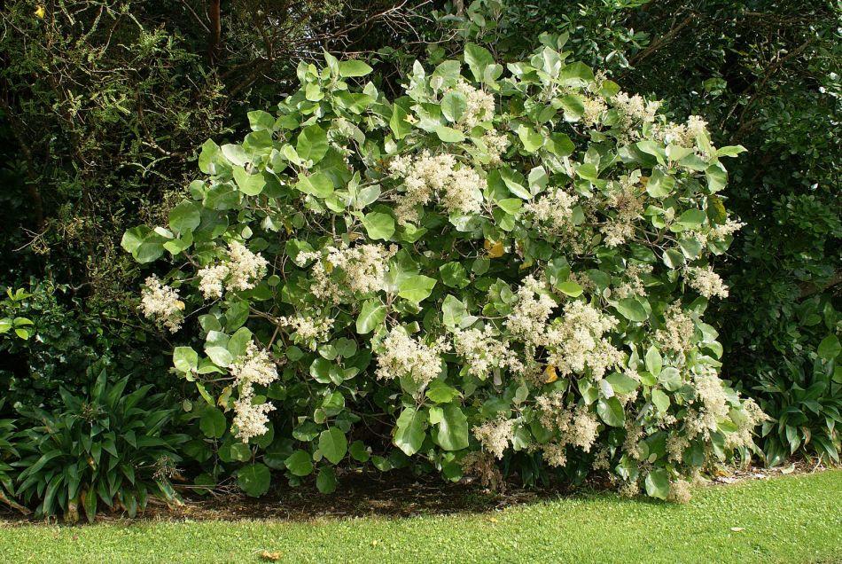 Bushman's friend in bloom with white flowers.