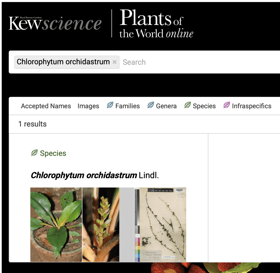 Web page from Plants of the World online, showing Chlorophytum orchidastrum