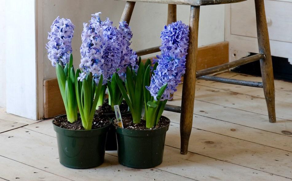 Blue hyacinths in pots