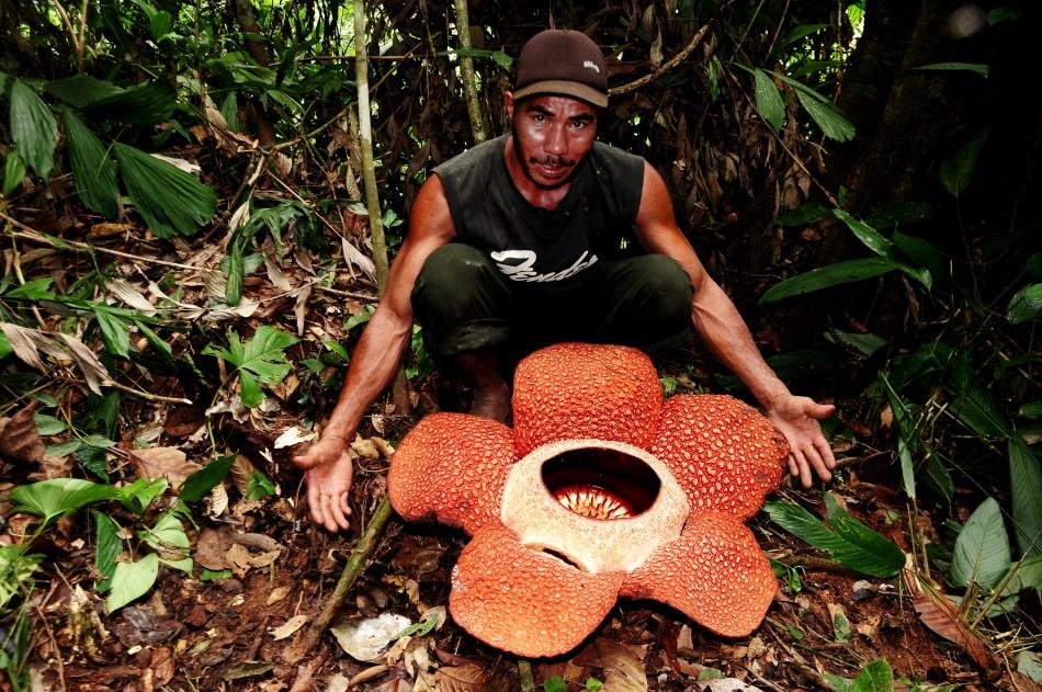 Man kneeling by Giant Rafflesia flower