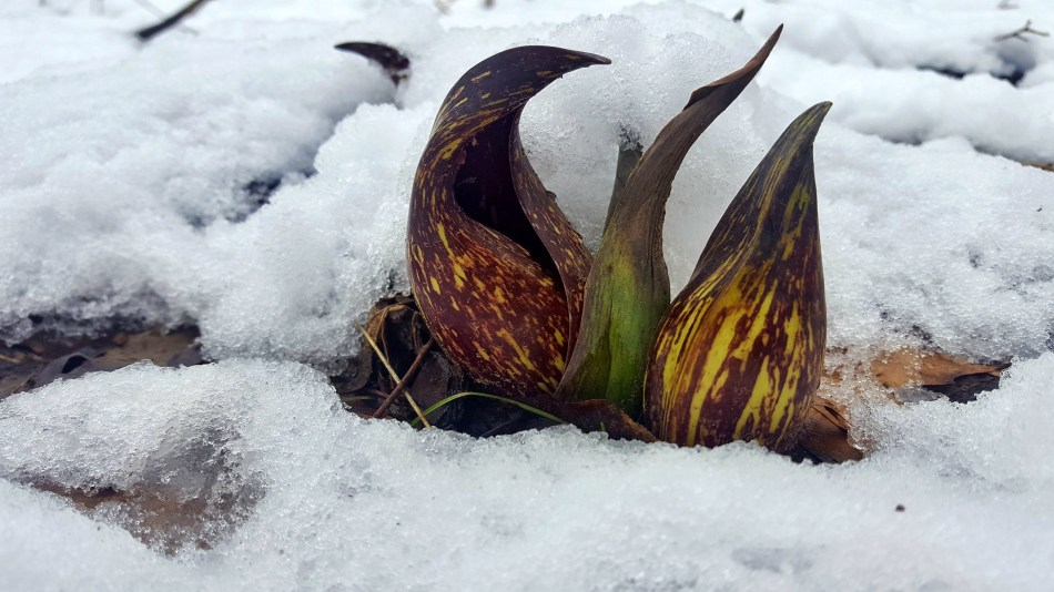 Skunk cabbages in snow.