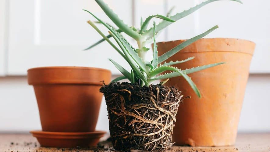Plant removed from small pot, ready to repot in bigger one.
