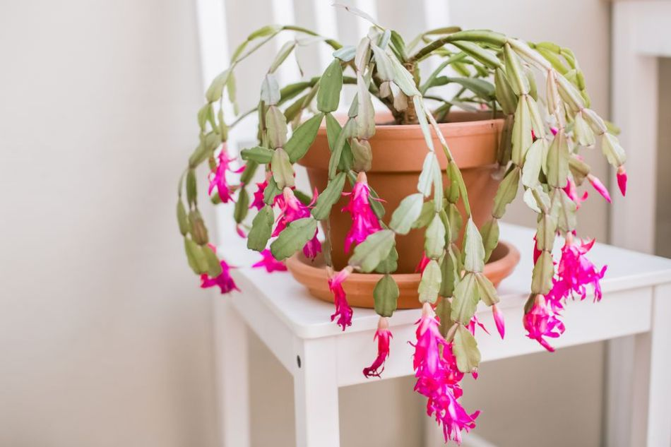 Christmas cactus in saucer