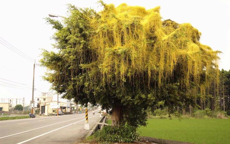Japanese dodder (Cuscuta japonica) covering a tree