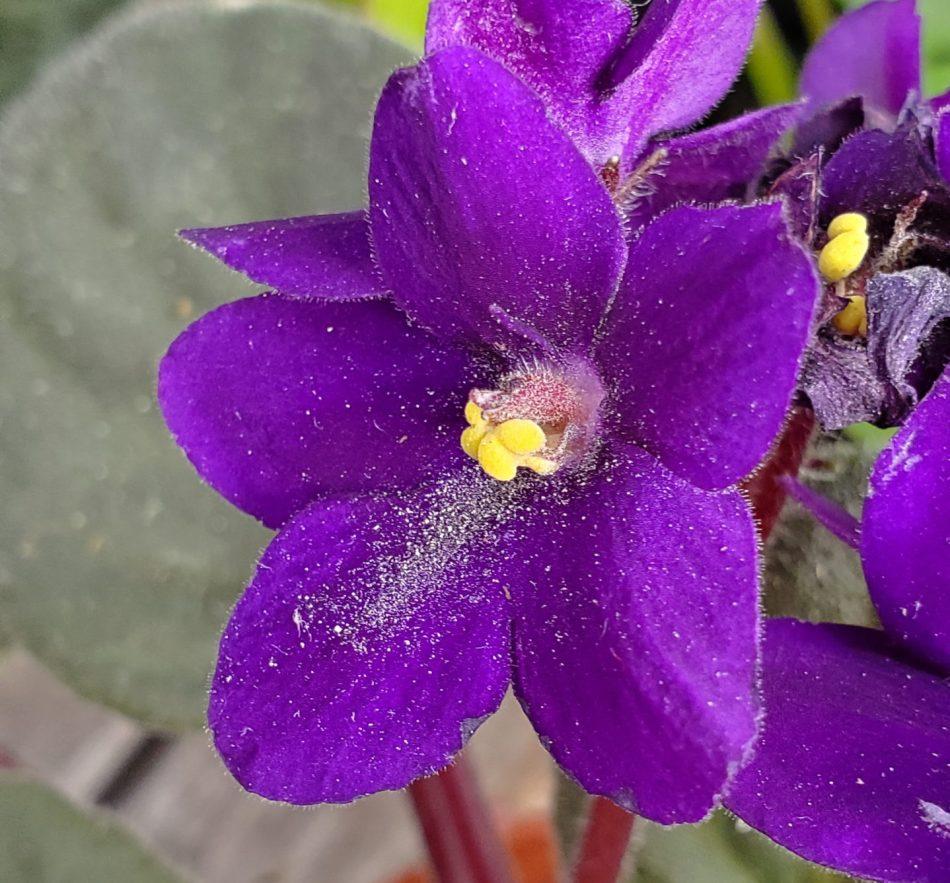 pollen spread over African violet flowers