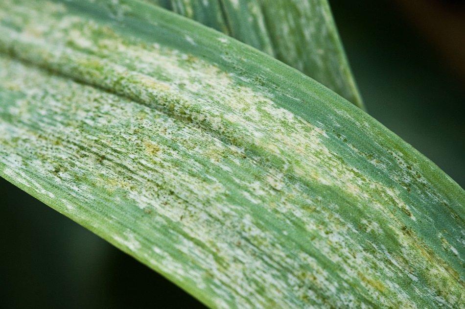 Onion thrips damage to a leek leaf