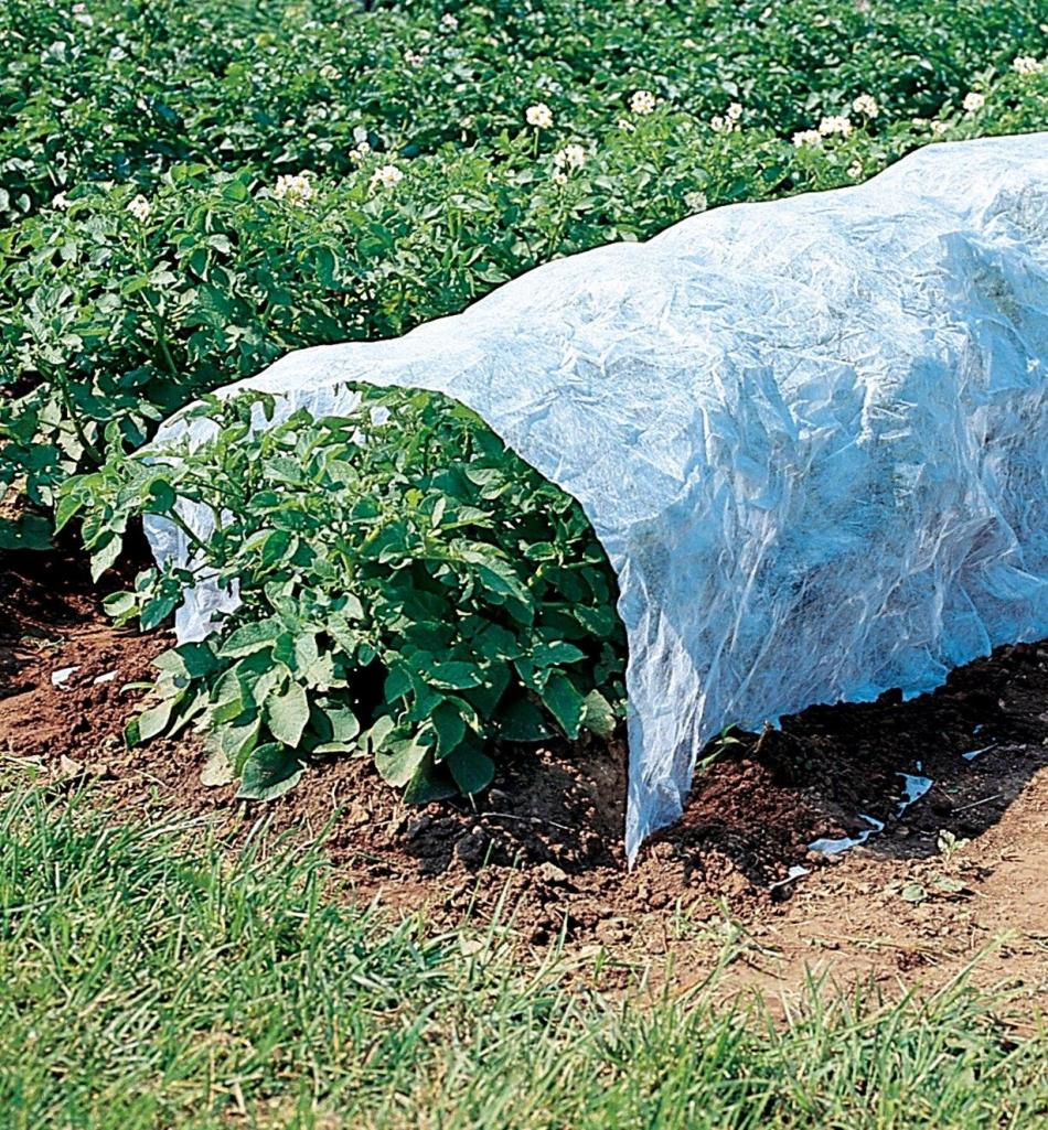 Floating row cover on potatoes.