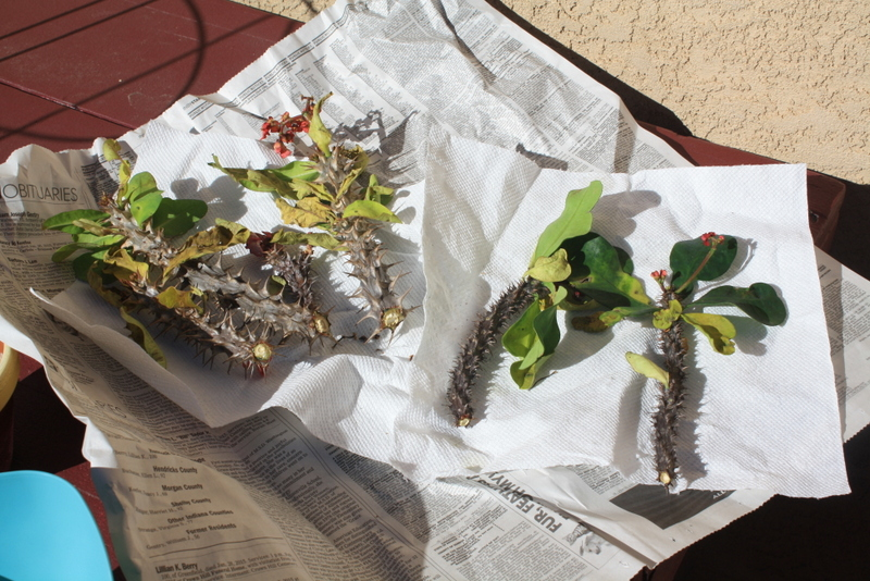 Cuttings of crown of thorns on newspaper