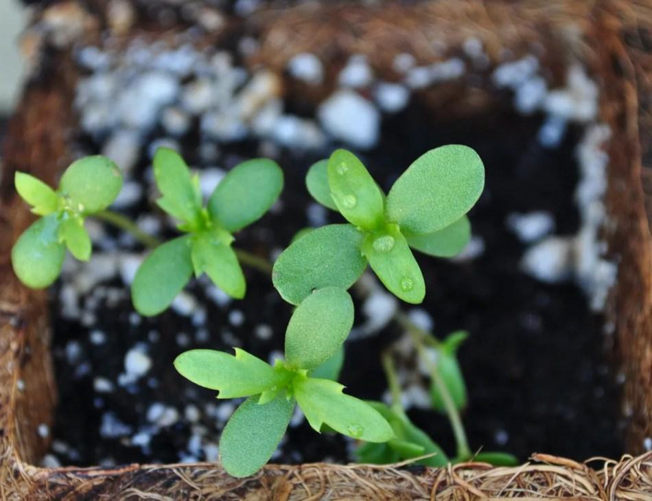Four tiny garland chrysanthemum seedlings in peat pot