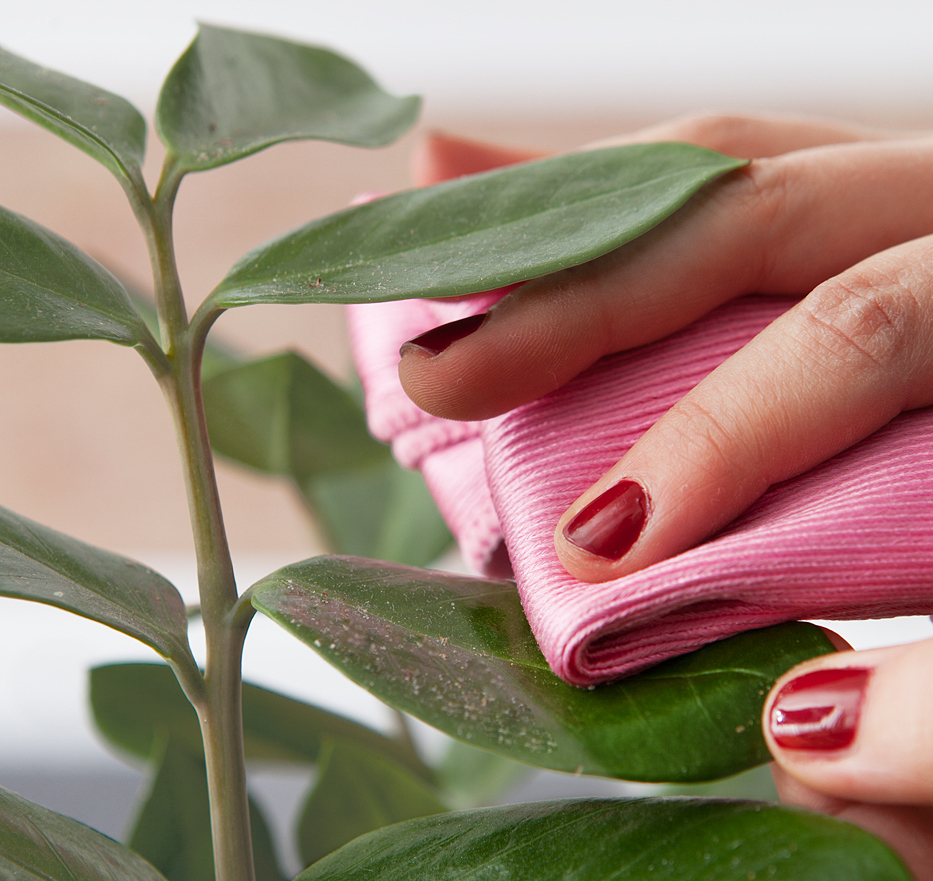 Hand cleaning a dusty houseplant leaf with a pink cloth.