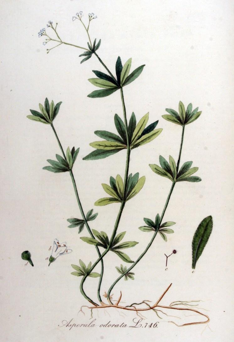 Botanical illustration of sweet woodruff showing various plant parts.