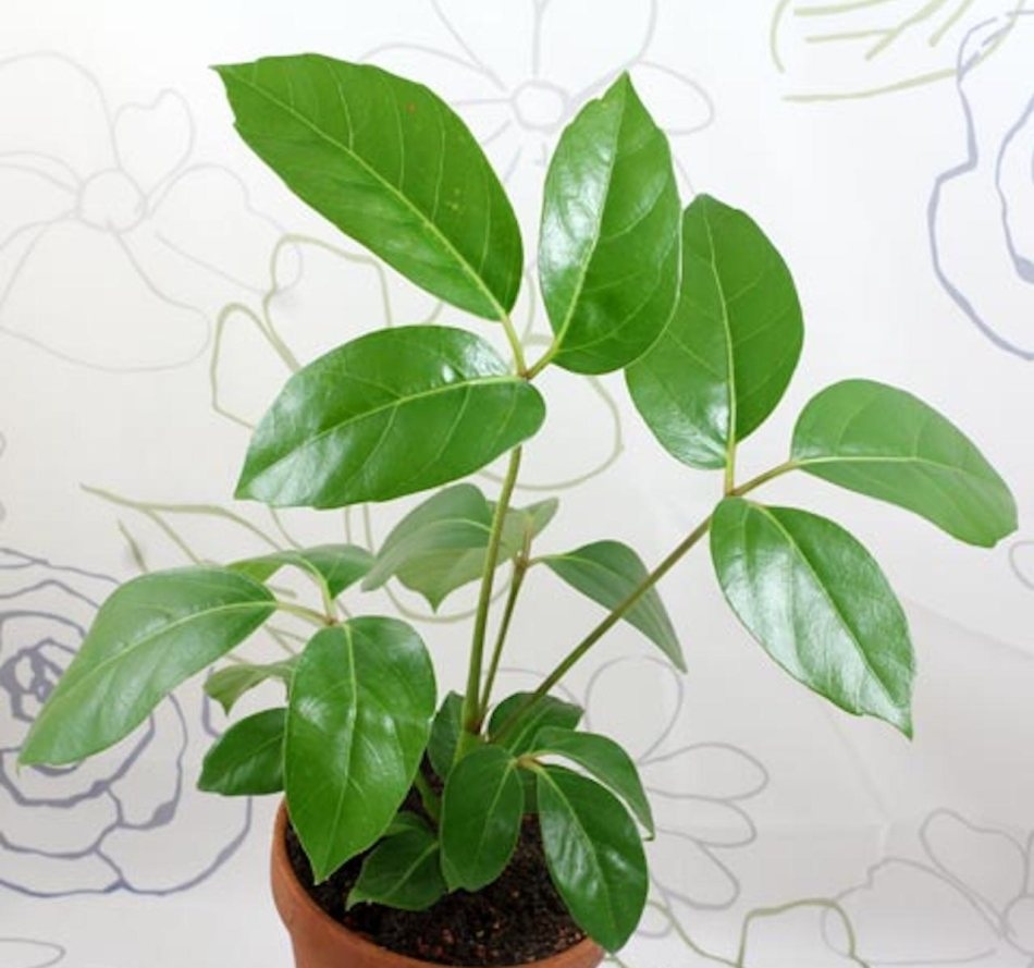 Young schefflera plant with trifoliate shiny leaves in small pot.
