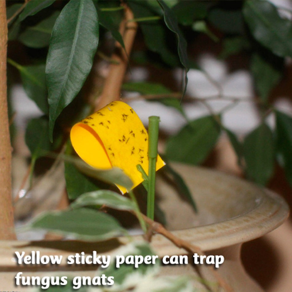 Yellow sticky trap with fungus gnats.