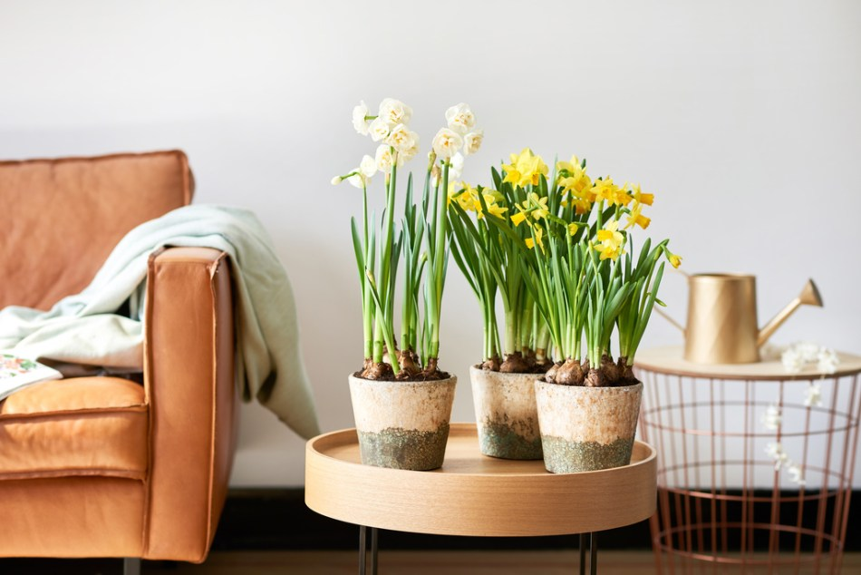 Mixed narcissi in a tray in a living room.