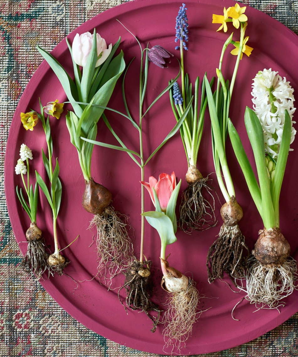 Spring bulbs removed from soil, showing their bulb and roots. On a red plate.