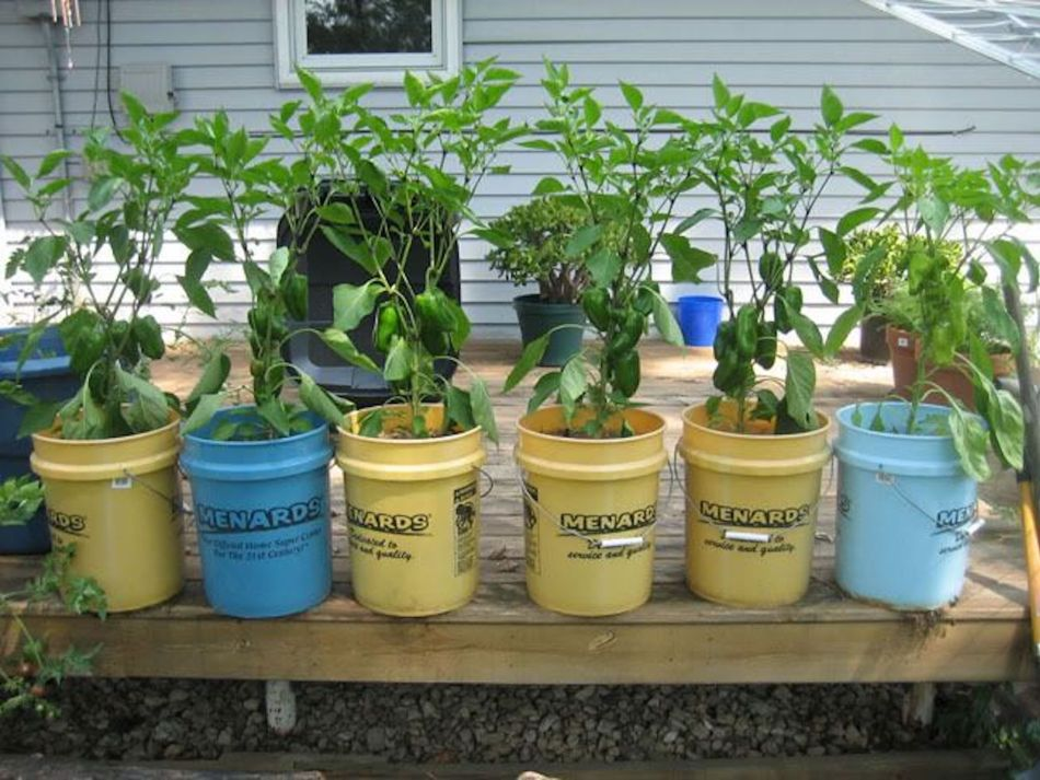 Peppers growing in buckets